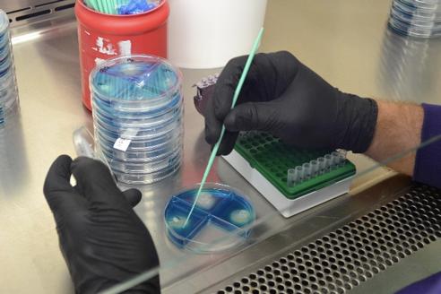 Plate inoculation to identify microorganism type